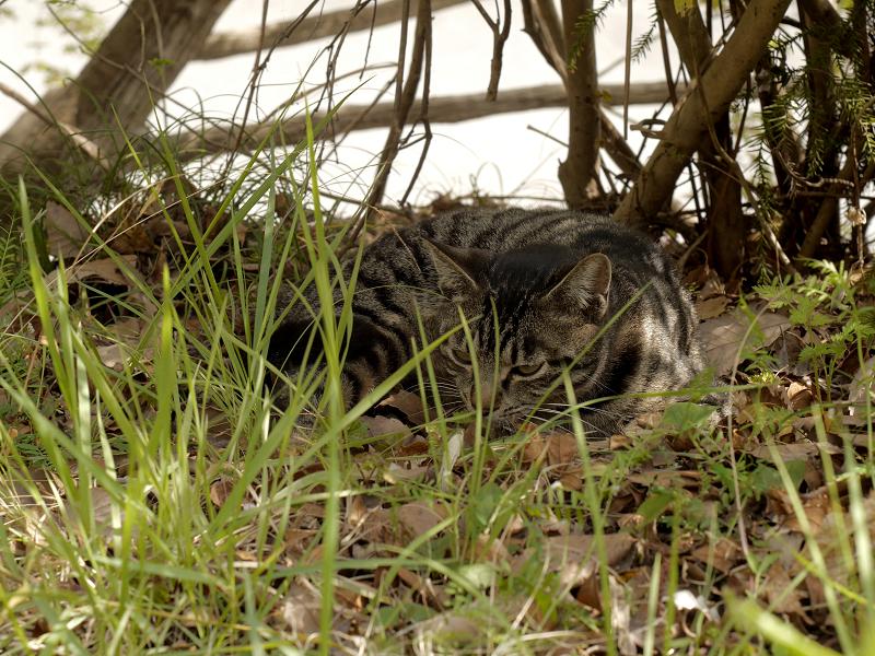 草むら木漏れ日で寝るキジトラ猫1