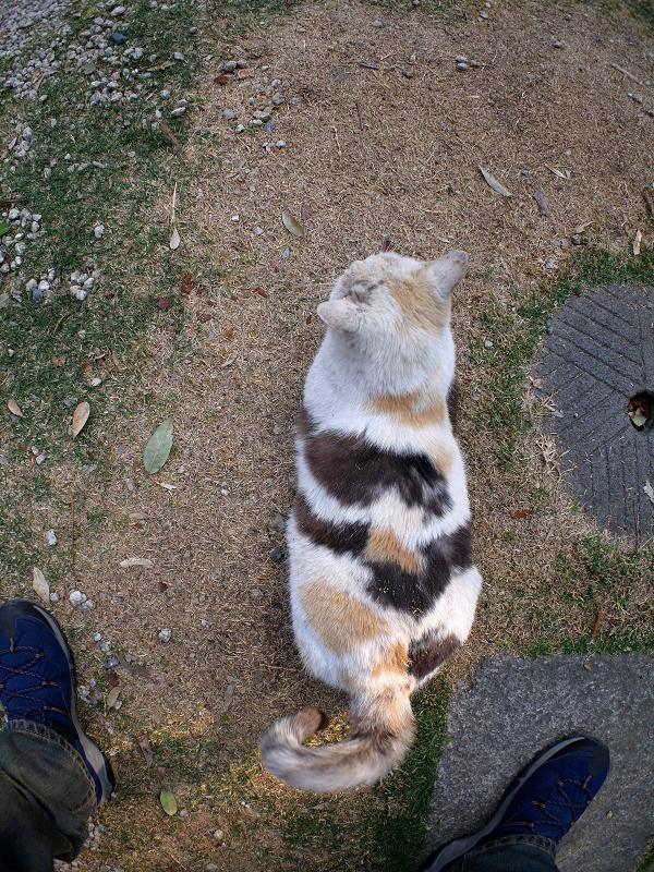尻尾を振る薄三毛猫2