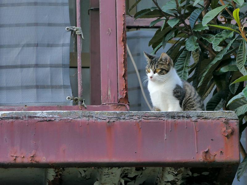 鉄製ベランダのキジ白猫2
