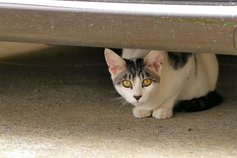 車の下の白黒猫