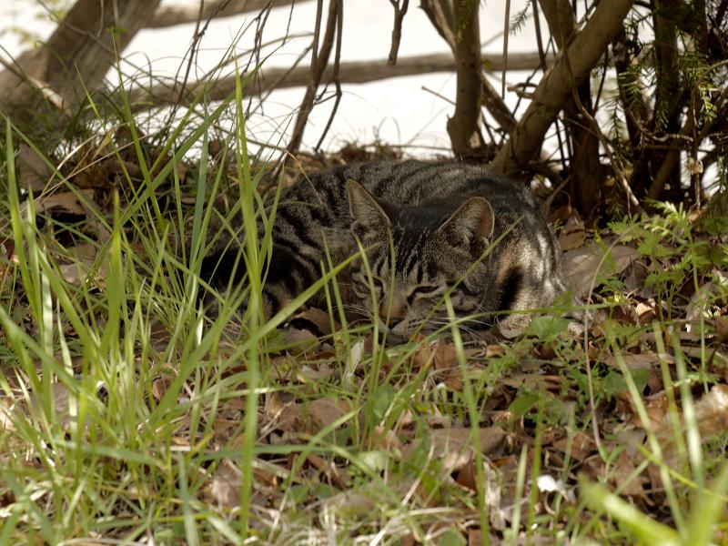 草むら木漏れ日で寝るキジトラ猫2
