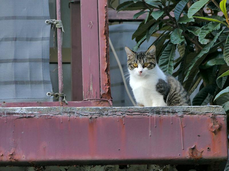 鉄製ベランダのキジ白猫3