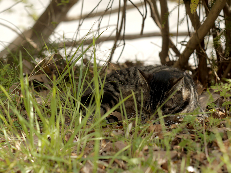 草むら木漏れ日で寝るキジトラ猫3