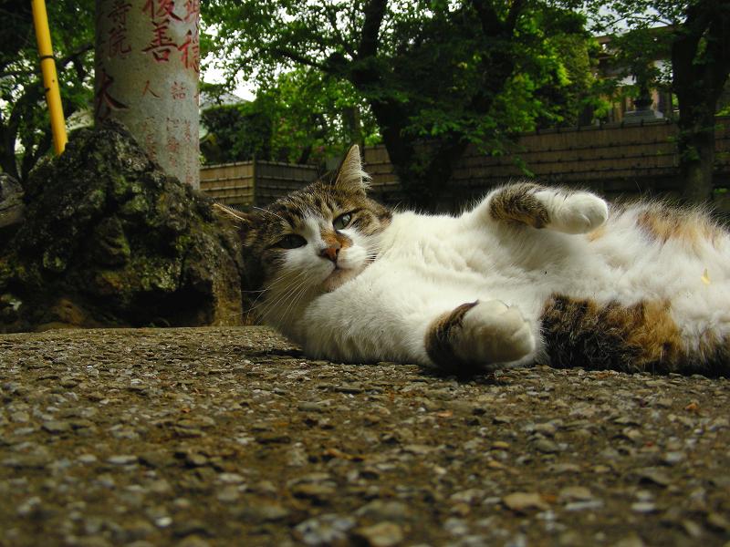参道で横になってる毛長のキジ白猫1
