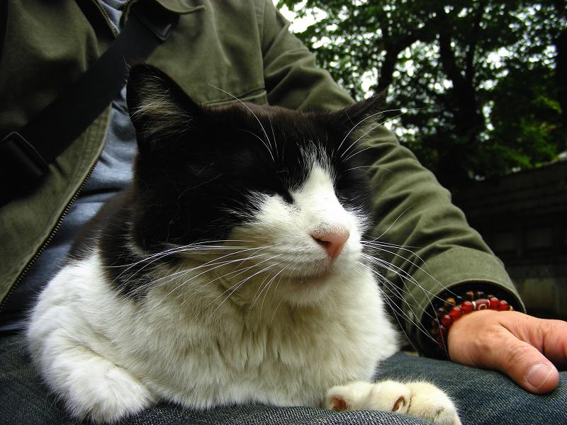 腿に乗ってる黒白猫1