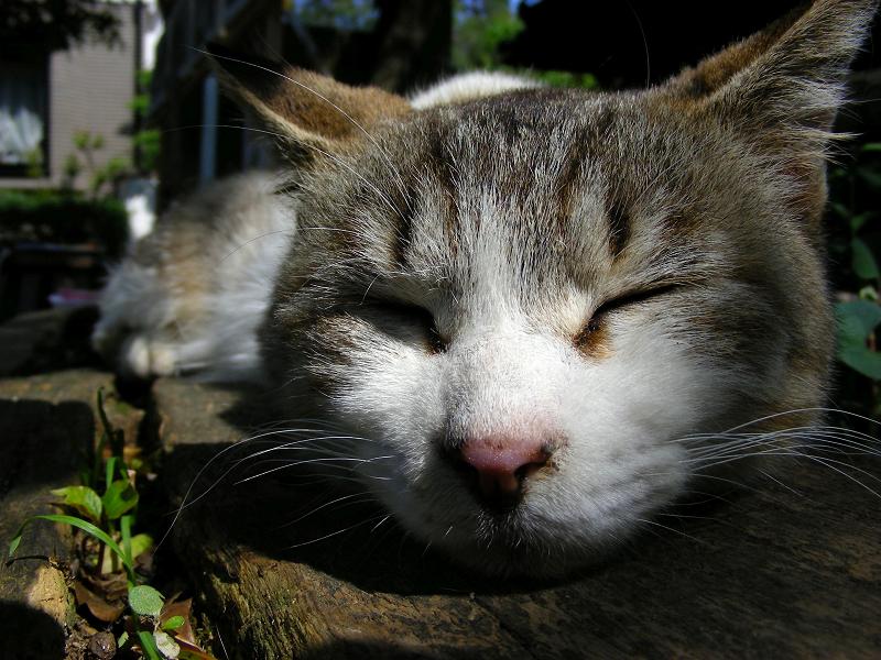 ベンチで寝ているキジ白猫のアップ1