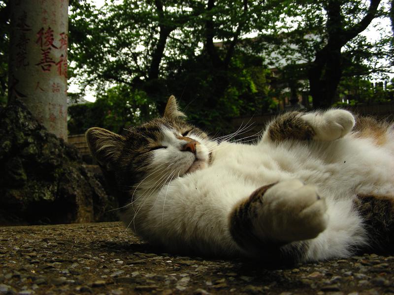 参道で横になってる毛長のキジ白猫2