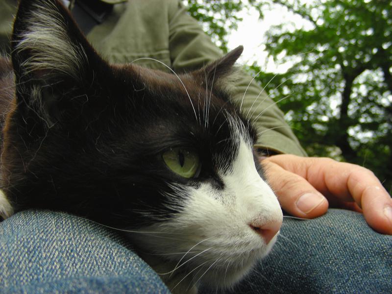 腿に乗ってる黒白猫2