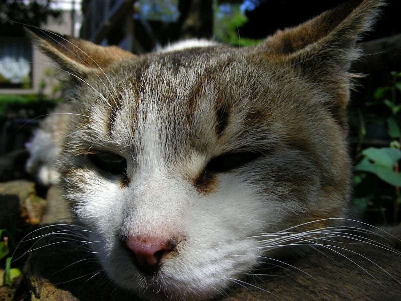ベンチで寝ているキジ白猫のアップ2