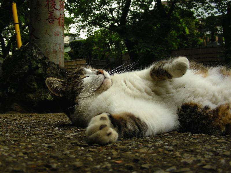参道で横になってる毛長のキジ白猫3