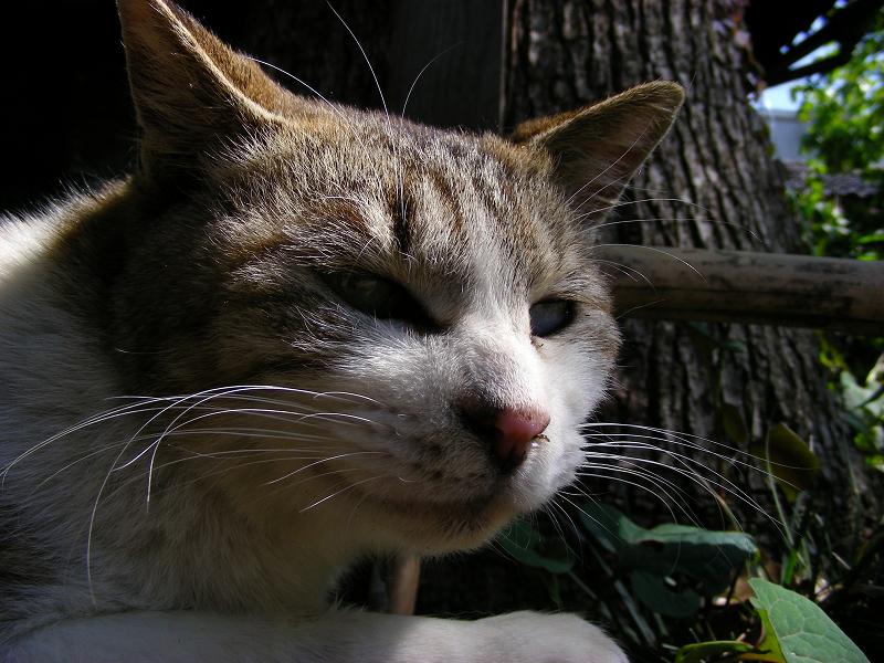 ベンチで寝ているキジ白猫のアップ3