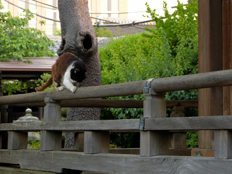 欄干で爪研ぎ黒白猫