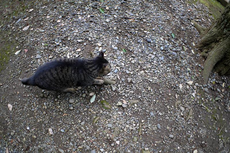 根っこで爪を研ぐキジトラ猫1