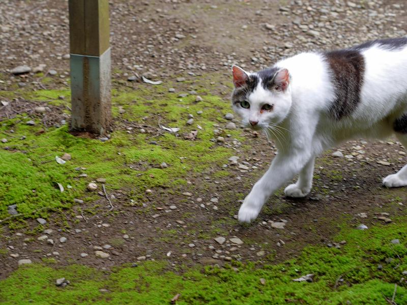 低い姿勢で歩く白キジ猫1