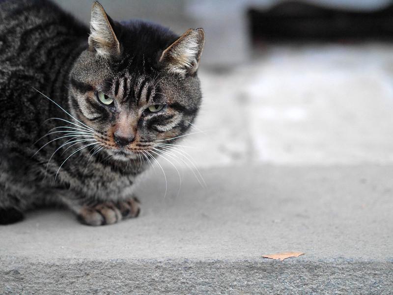 渋い表情のキジトラ猫