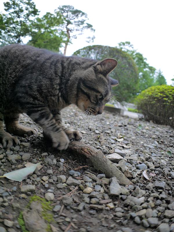 根っこで爪を研ぐキジトラ猫2