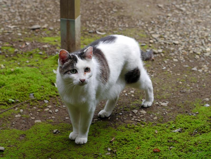 低い姿勢で歩く白キジ猫2