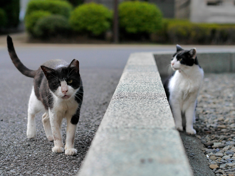 縁石を挟んだ黒白猫たち3