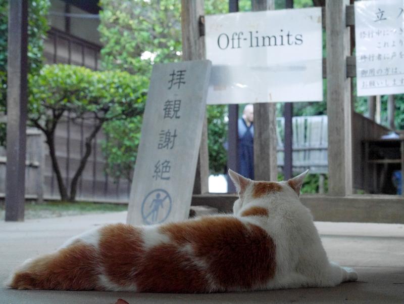 通路で横になってる白茶猫