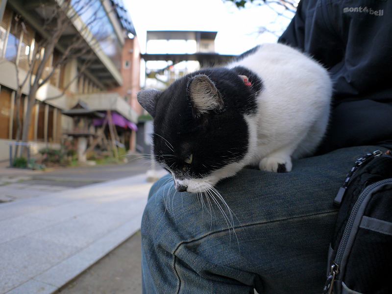 膝の上で寝そうになってる白黒猫1