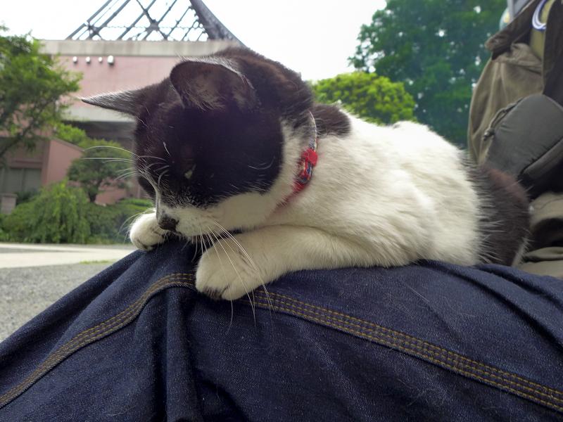 膝に乗ってご免寝の白黒猫1