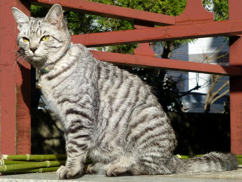 朱色の柵とサバトラ猫2