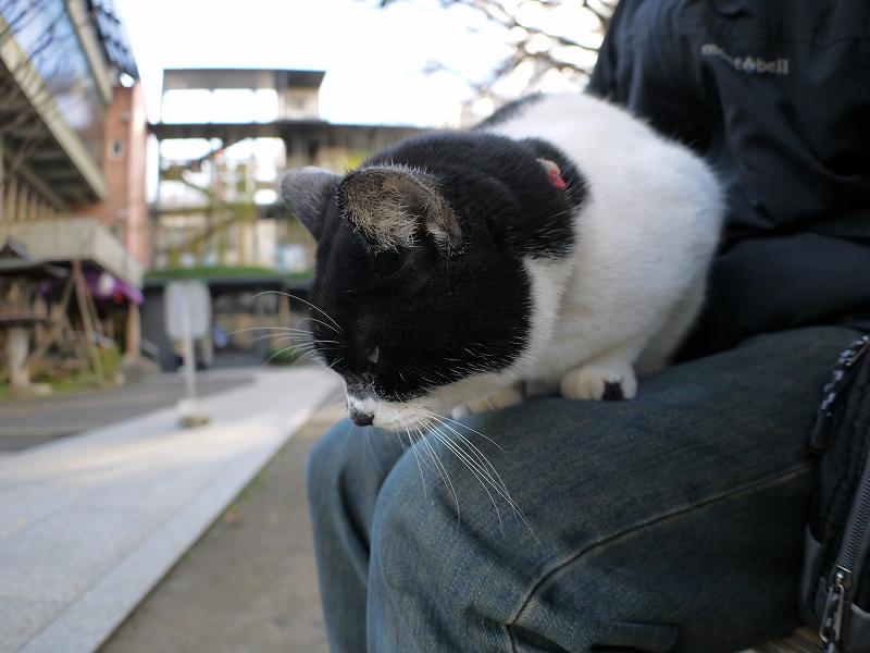 膝の上で寝そうになってる白黒猫3