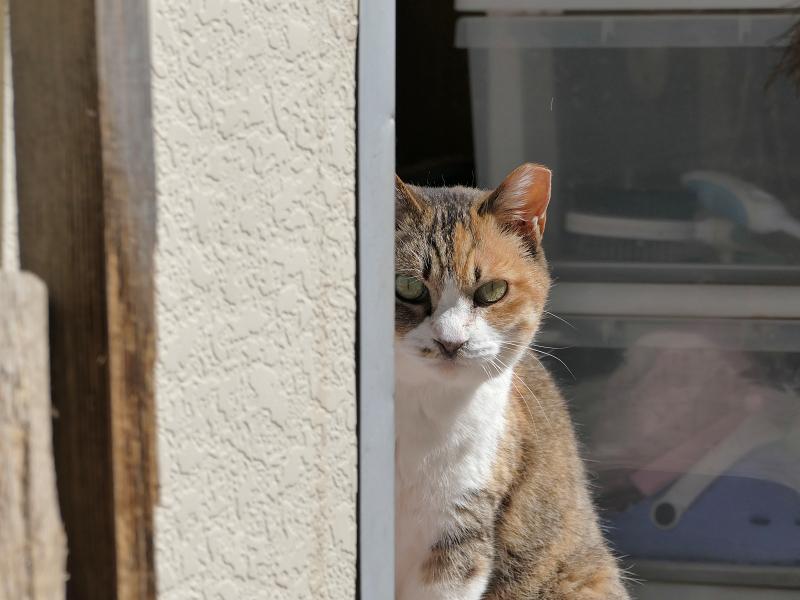 簡易ハウスから見ている猫1
