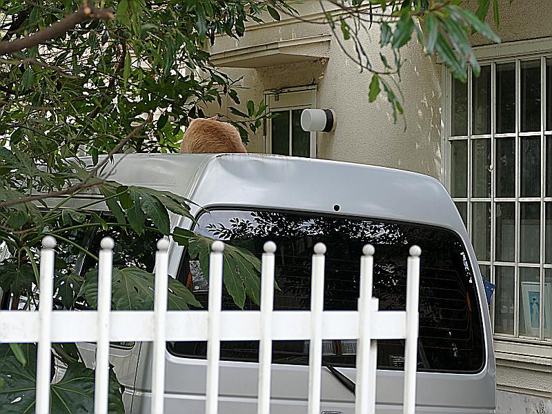 車の屋根の茶トラ猫