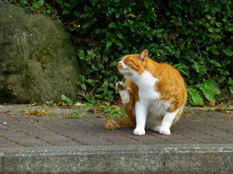 カキカキしている茶白猫1