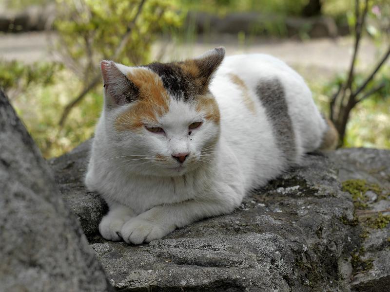 岩の上で佇む白三毛猫1