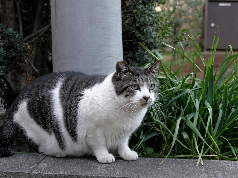 大きなキジ白猫2
