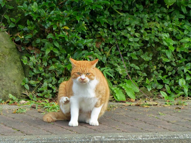 カキカキしている茶白猫2