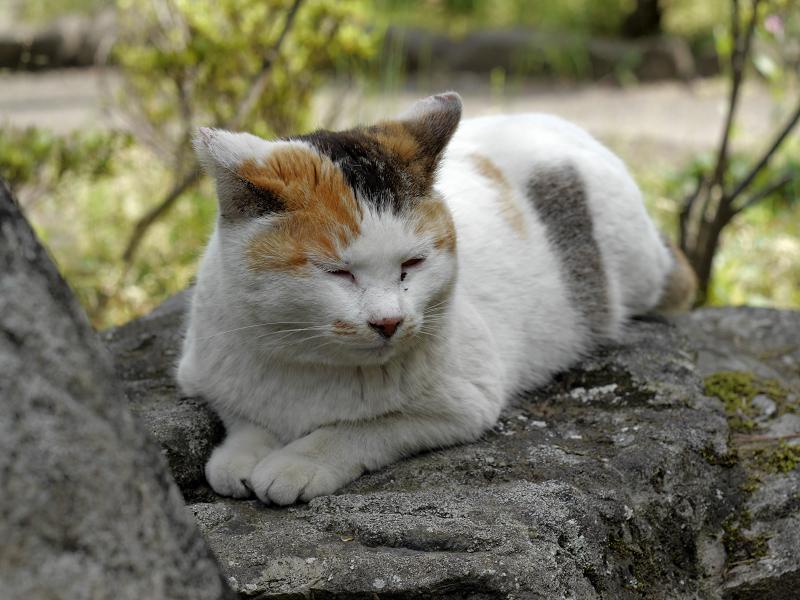 岩の上で佇む白三毛猫2