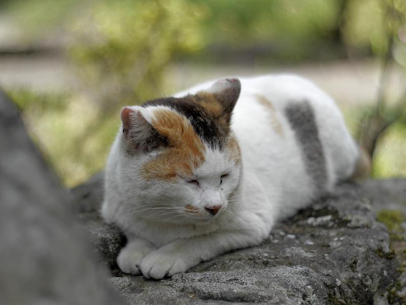 岩の上で佇む白三毛猫3
