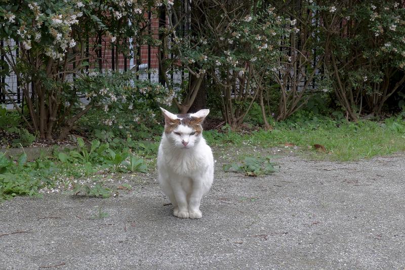 遠くから見ている白キジ猫