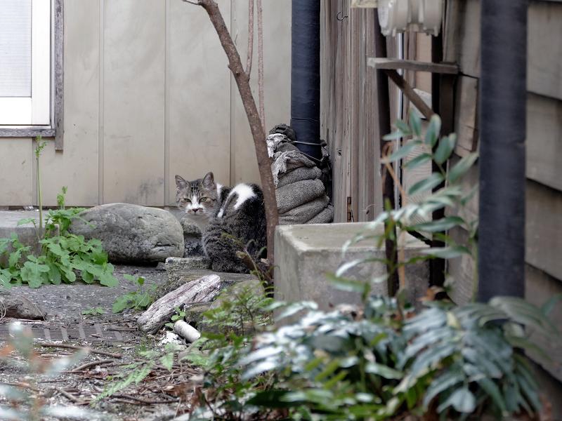路地奥玄関前のキジ白猫1