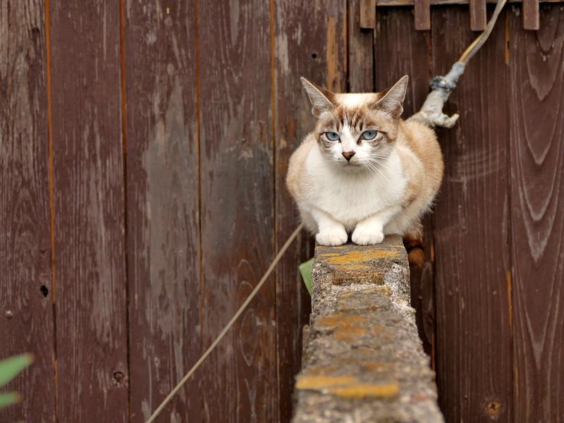 ブロック塀に座ったシャム猫風猫1