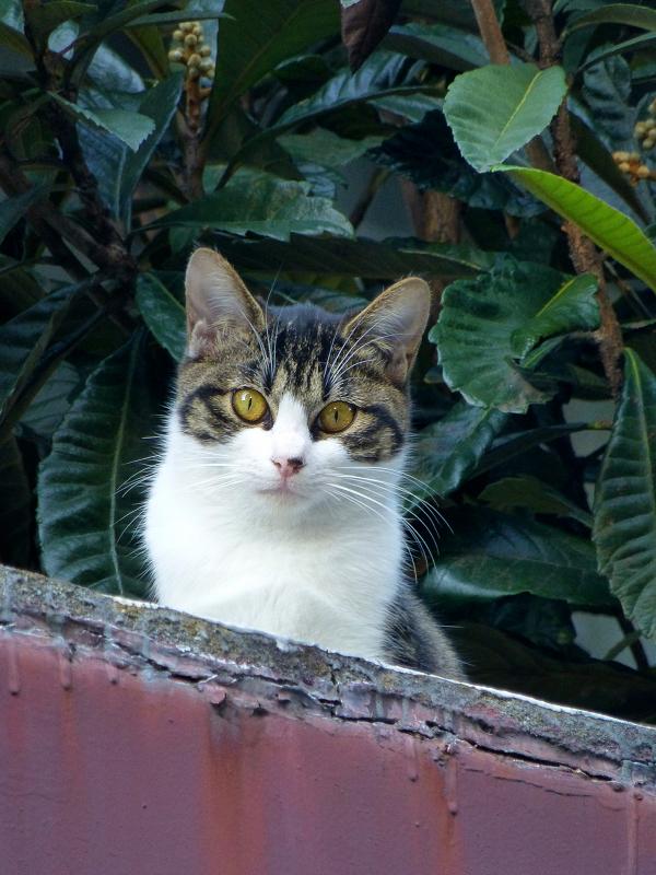 ベランダから見下ろしてるキジ白猫