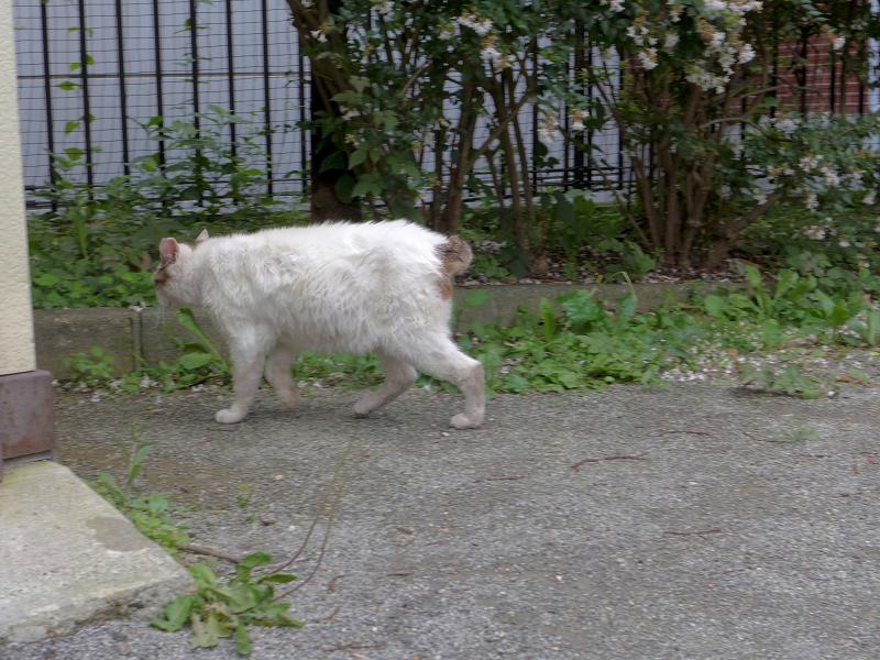 すぐに逃げたキジ白猫