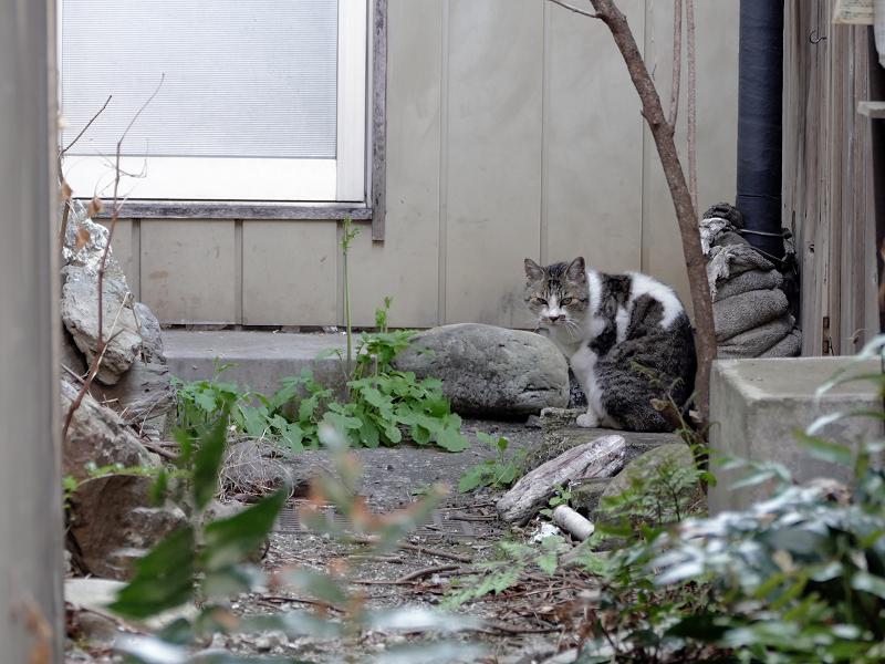 路地奥玄関前のキジ白猫2