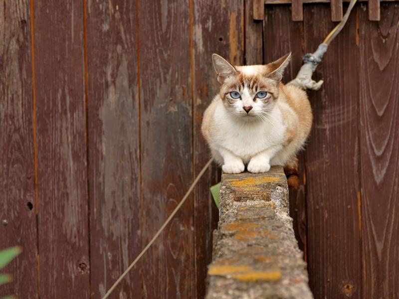 ブロック塀に座ったシャム猫風猫2