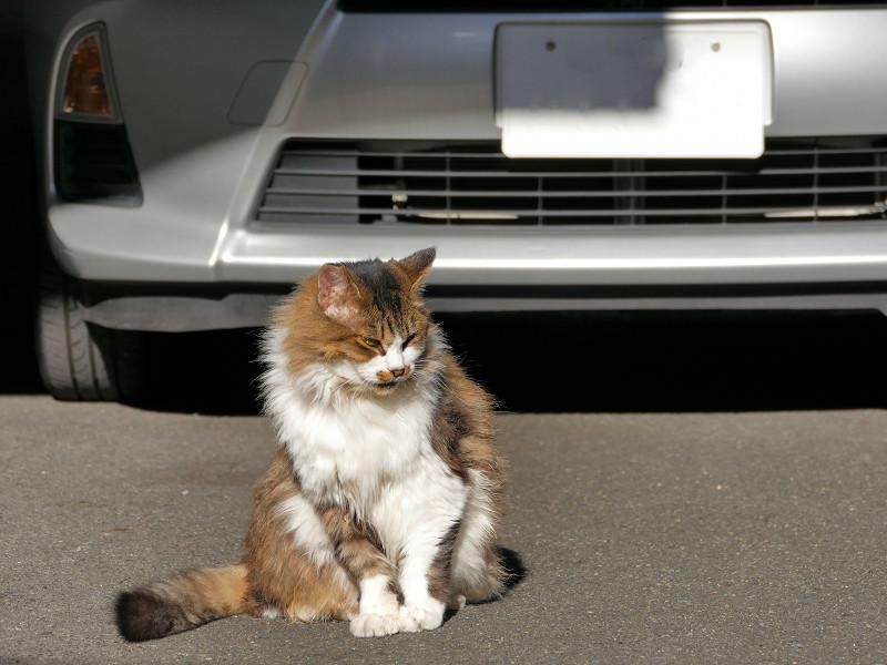 トヨタ車と毛長のキジ白猫2