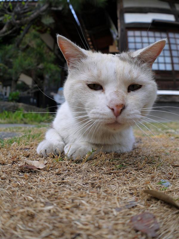境内で腹ばってる薄三毛猫3