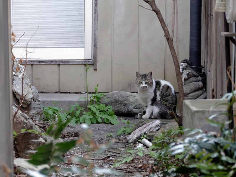路地奥玄関前のキジ白猫3