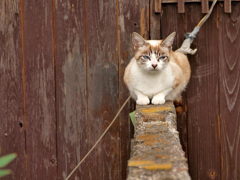 ブロック塀に座ったシャム猫風猫3