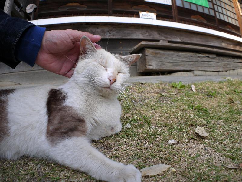 境内で腹ばってる薄三毛猫4
