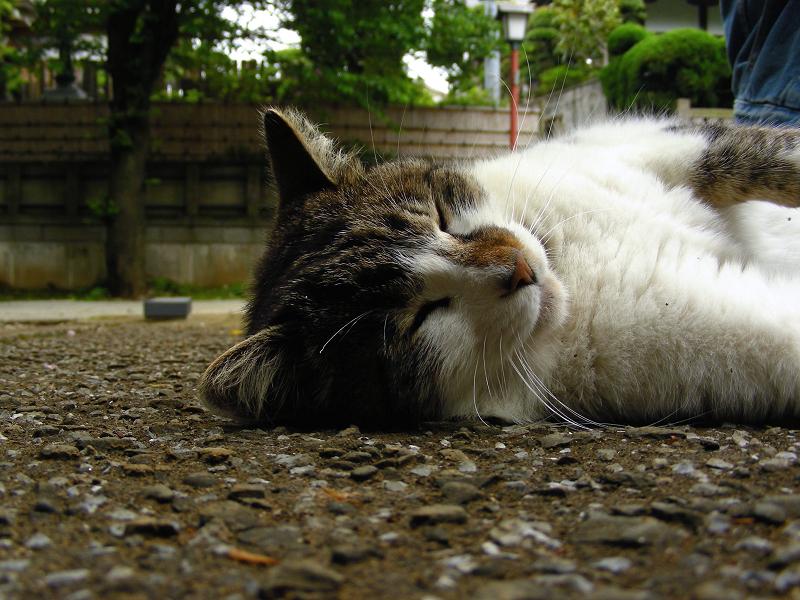 参道で仰向けのキジ白猫1