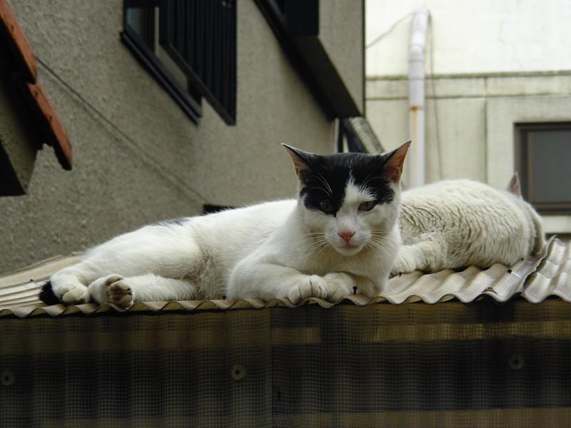 トタン屋根の猫たち1