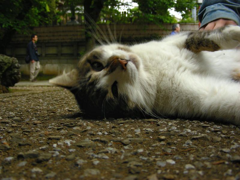 参道で仰向けのキジ白猫2